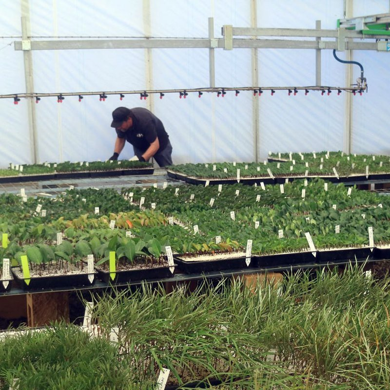 APS Nursery Propagation Manager at work
