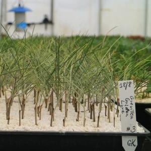APS propagation cuttings