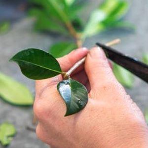 APS propagation cuttings preparation
