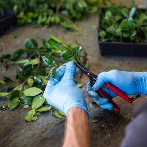 APS preparing cuttings